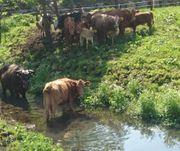 Verkaufe Einsteller Rinder