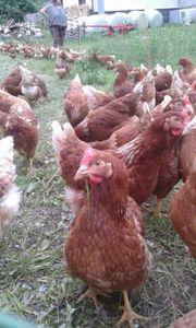 Hühner - jetzt vorbestellen