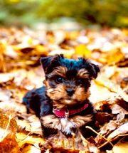 Biewer Yorshire Terrier