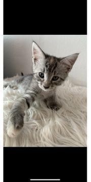 Maine Coon EKH Kitten