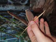 Sipyloidea sipylus stabschrecken phasmiden
