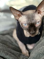 Dobby nacktkatze Sphynx
