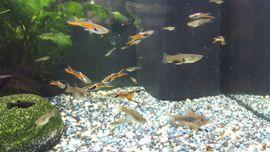 Fische, Aquaristik - Guppys Guppy Endler und Antennenwelse
