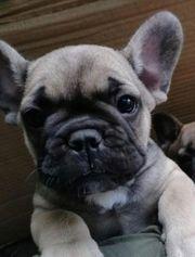 Französische Bulldogge Welpen Welpe