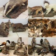 Tierpräparate Ausgestopfte Tiere Felle Präparate