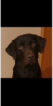 Deckrüde Labrador