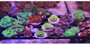 meerwasser korallen Ableger lps goniopora