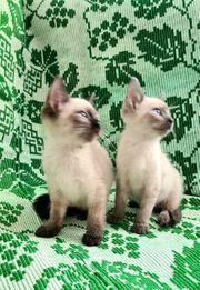 siam Kätzchen