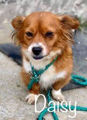 Daisy Hündin aus dem Tierschutz
