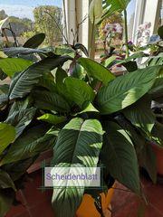 Zimmerpflanze Scheidenblatt Einblatt