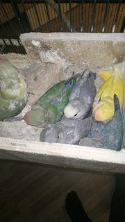 Rosenköpfchen Agaporniden Unzertrennliche Love Birds