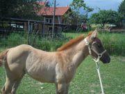 - FOE SALE - Quarter Horse Stute