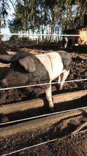 Anglerssattelschwein Eber