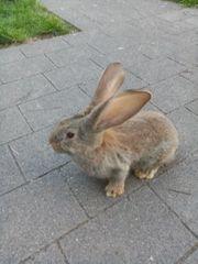 Deutsche Riesen Kaninchen zu verkaufen