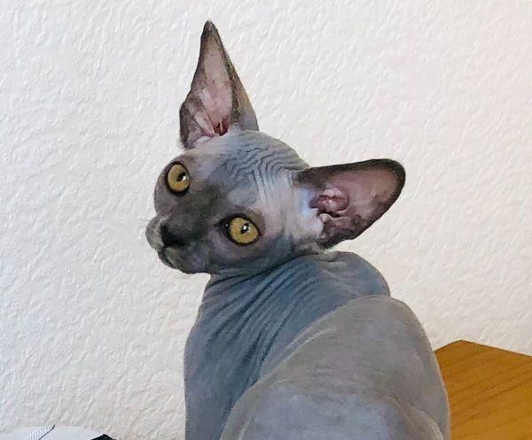 Reinrassige Canadian Sphynx Kitten, Sphinx