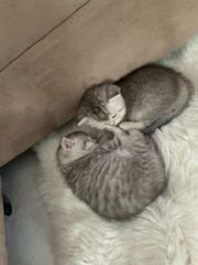 BKH Babykitten Kätzchen