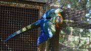 Hybrid Ara Henne und Hahn