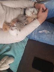 Kitten Bkh Katzen