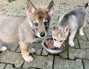 Husky Mix Welpen