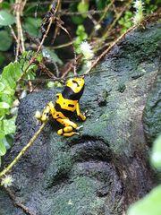 Dendrobates Tinctorius Azureus Brasilianer um