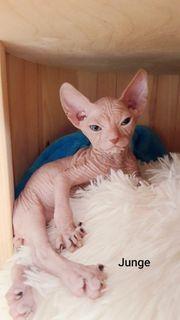 Don-Sphynx Kitten nur noch 1