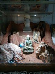 zwergwüstengeckos mit terrarium
