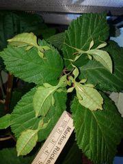Wandelnde Blätter - Phyllium siccifolium