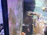 Igelfisch handzahm