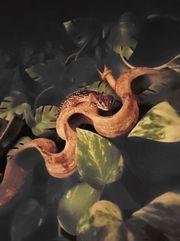 Paroedura picta Großkopfgecko