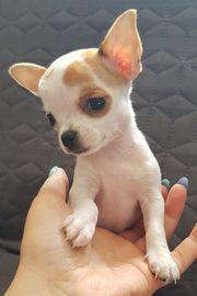Chihuahua Welpe Rüde kurzhaar reinrassig