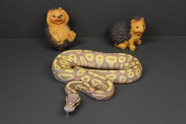 Königspython Python Regius Köpy Coral