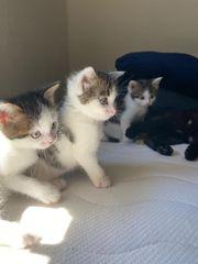 Babykatzen Kitten Weiß Schwarz-Grau-Getigert Männlich