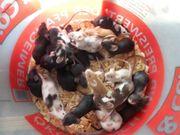 Farbmäuse Mäuse sehr schöne Farben