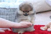 Süße Pomeranian Zwergspitz Rüden zu