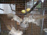 Chin Baumstreifenhörnchen
