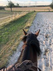 Warmblut Allrounder Pferd gesucht