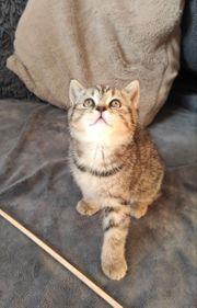 Reinrassiges BKH Kitten Katze