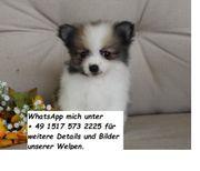 Outgoing Pomeranian Welpen zu verkaufen