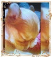 Chihuahua Mädchen reinrassig typvoll lang