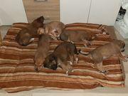 Pygmäenberghund Rhodesian Ridgeback