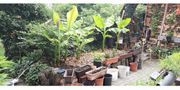Bananenpflanzen