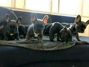 Französische Bulldoggen Welpen mit Papieren