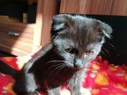 BKH Mix Kätzchen