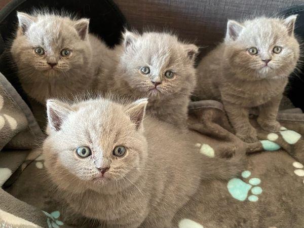 BKH Kitten mit exzellentem Stammbaum