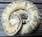1 0 Calico Pastel Ghost