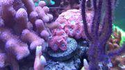 Meerwasser Korallen Nano Ableger