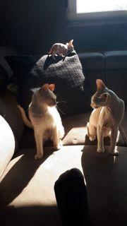 Sphinx Katze Kater sphynx