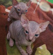Sphinx Katzen Babys