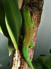 Phelsuma Grandis Weibchen high red