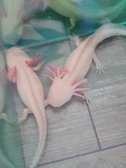 Axolotl Babies 3 Stück